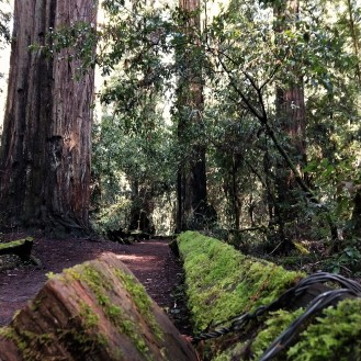 Armstrong Redwood National Forest1