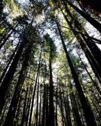 Armstrong Redwood National Forest2
